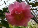 桃色 八重咲き 大輪