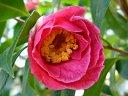 桃色 牡丹咲き 中〜大輪