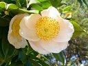 淡桃色 一重 平開咲き 梅芯