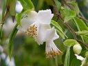 白色、極小輪、筒咲き〜盃状咲き