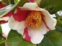 鮮紅色地 白斑入り 一重 盃状咲き 肉厚 ユキツバキ状芯 小輪