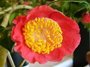 鮮紅色 一重 平開咲き 梅芯 大輪