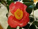 紅色地 白斑入り 一重 平開咲き 筒しべ 中輪