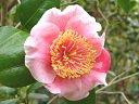 桃色地 紅縦絞り 一重 平開咲き 梅芯 中輪