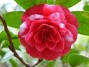 紅色地 白斑入り 八重咲き 松笠状の花 小輪