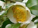 開花初期に微紅 後に白色 一重 花糸黄白色 梅芯 大輪