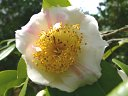 白色地 紅縦絞り 一重 平開咲き 花糸黄色 梅芯 大輪 有香