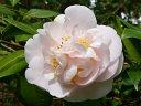桃色 八重 牡丹咲き 中輪