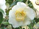 白色 一重 平開咲き 花糸黄白 梅芯 大輪