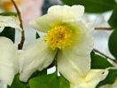 白色 一重 平開咲き 小輪 原種