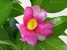 桃色と白色の弁が交互に並ぶ「一枚変わり」の一重 椀咲き 筒しべ 中輪