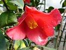 紅色 一重咲き 動きの有る花弁 中輪