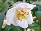 白地 弁端淡桃ぼかし 一重 椀咲き 極小輪