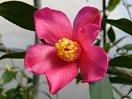 桃紅色 細長弁 一重 盃状咲き 小輪