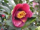 淡紫〜濃紫色 一重 筒咲き 小輪