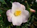 淡桃から移り白 一重 ラッパ咲き 小輪