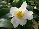 白色 一重 盃状咲き 極小輪 芳香