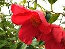 紅色 一重 長弁 ラッパ咲き 大輪