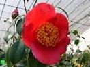 桃赤色 一重 椀咲き 花糸赤色 中輪