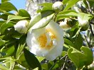 白色 八重 牡丹咲き 大輪