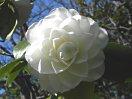 白色 千重咲き 長弁 中輪