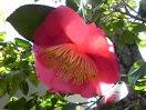 桃紅色 一重 平開咲き 輪芯ときに唐子咲き 極大輪