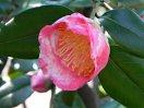 桃紅色 白斑入り 一重 平開咲き 輪芯ときに唐子咲き 極大輪
