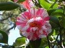 白または極淡桃色地 紅色縦絞り 八重 二段咲き 中〜大輪