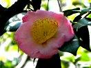 桃色 底白 一重 平開咲き 輪芯 中輪
