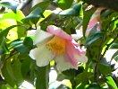 桃色地 白斑入り 一重 ラッパ咲き 小輪