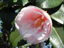 淡桃色 千重〜八重咲き 散り性 中〜大輪