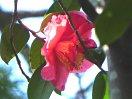 紅色 八重 二段咲き 中〜大輪