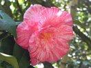 淡桃色地 大量の濃紅縦〜小絞り 八重咲き 筒しべ 大輪