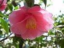 淡桃色で花びらの基部は更に淡い色 八重 蓮華咲き 筒しべ 中〜大輪