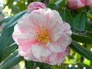 白色地 桃色大小縦絞 八重咲き 中輪
