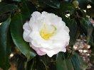 淡桃色 八重咲き 割りしべ 極小輪