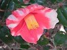 濃紅色地 白斑入り 一重 盃状咲き 筒しべ 中〜大輪