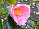 桃色地 やや濃い桃色の吹掛け絞りが全面に入る 一重 筒咲き 筒しべ 中輪