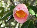 淡桃色 一重 椀咲き 太い花糸の輪芯 厚弁 大輪