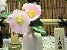 淡桃色 底白気味 弁端はわずかに濃い 一重 ラッパ〜平開咲き 小輪