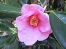 紫をおびた桃色 一重 筒〜ラッパ咲き 中輪