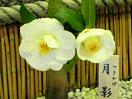極淡桃〜白色 一重 椀咲き 中輪