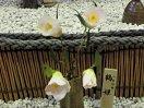 極淡桃色 一重 筒〜ラッパ咲き 肉厚 筒しべ 小〜中輪