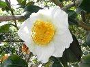白色 一重 平開咲き 花糸白色 梅芯 中〜大輪