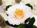 白地 淡紅縦〜小絞り 一重 筒しべ 平開咲き 中〜大輪