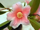 淡桃色地 白覆輪ぼかし 一重 猪口咲き 侘芯 有香