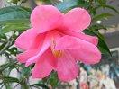 明藤桃色 八重 細弁蓮華咲き チューリップ咲き 中輪