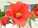 鮮紅色 一重 ラッパ咲き 筒しべ 中輪