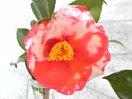 紅色地 白斑入り 八重咲き 筒しべ 大輪