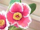 暗紅紫地白覆輪 鮮明な弁脈 一重 ラッパ・平開咲 中輪
